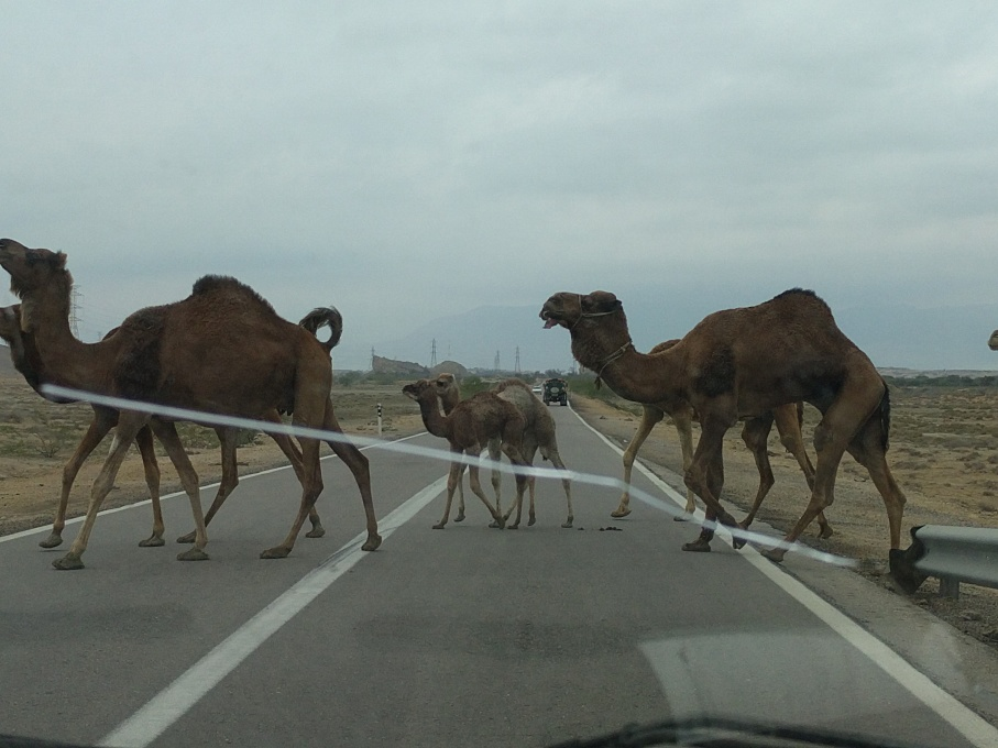 qeshm camels